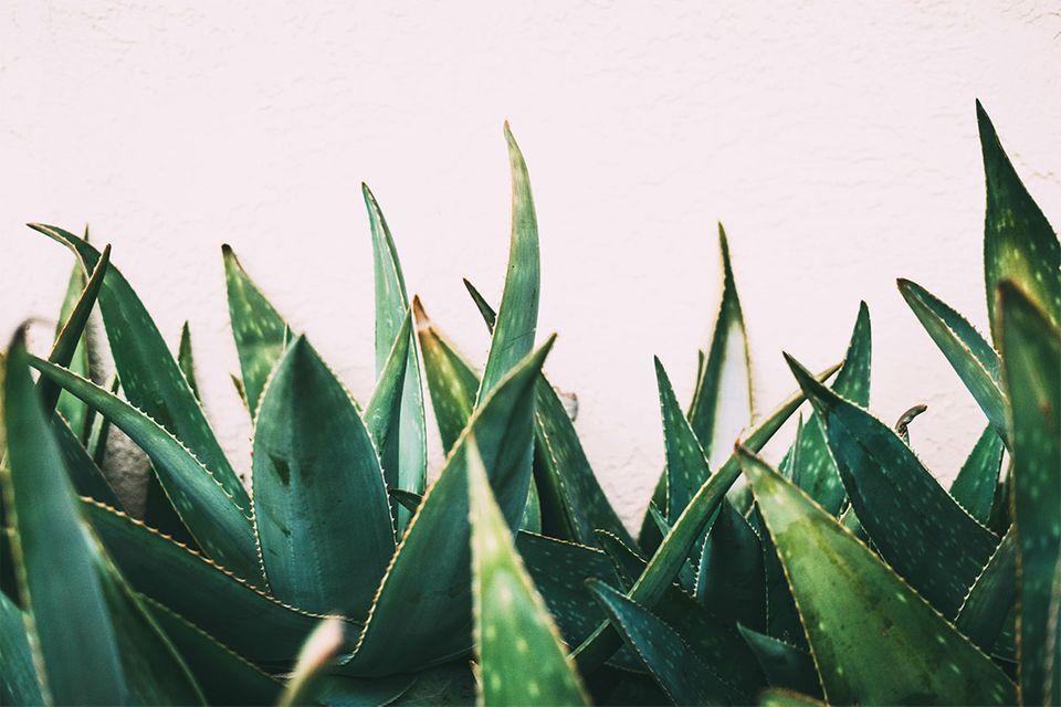 Aloe Vera in Nahaufnahme