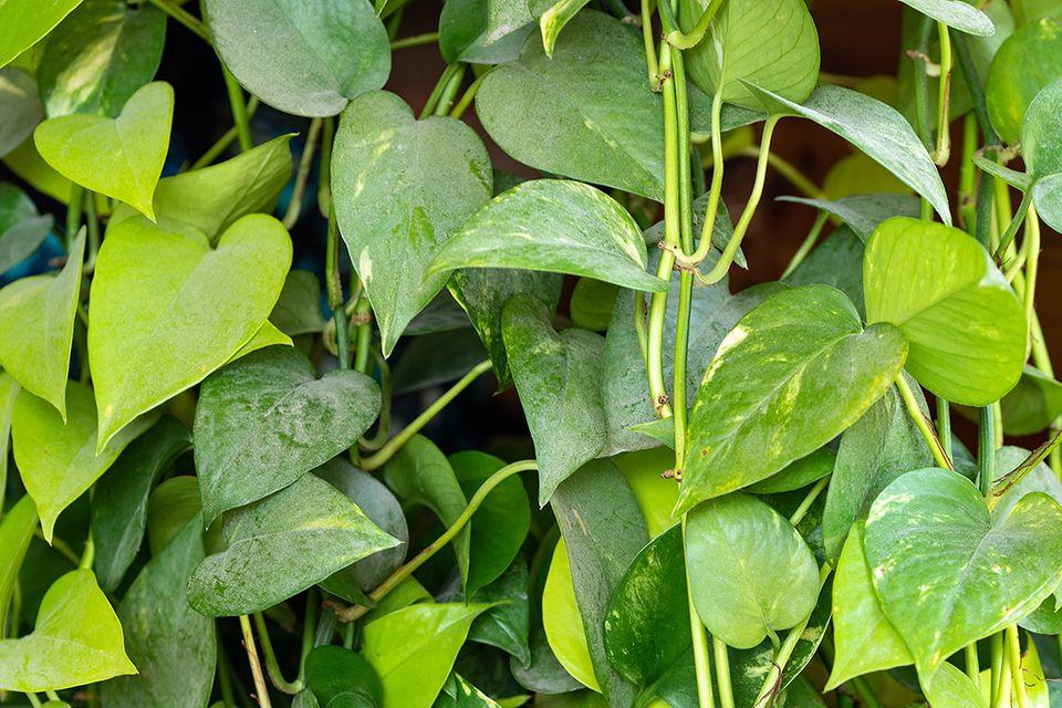 Pflanzenlexikon: Efeutute mit kleinen Blättern