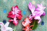 Weihnachtskaktus in unterschiedlichen Blütenfarben