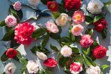 Blühende Kamelien in unterschiedlichen Rot-, Rosa- und Weißtönen