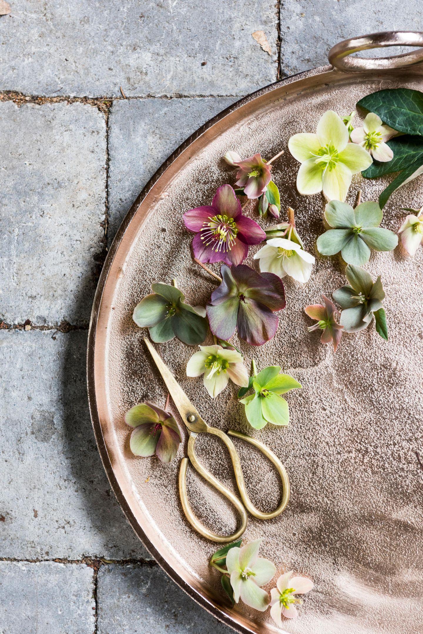 Christrosenblüten auf einem beigen Keramikteller mit goldener Schere