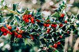 Stechpalme mit roten Beeren in Nahaufnahme